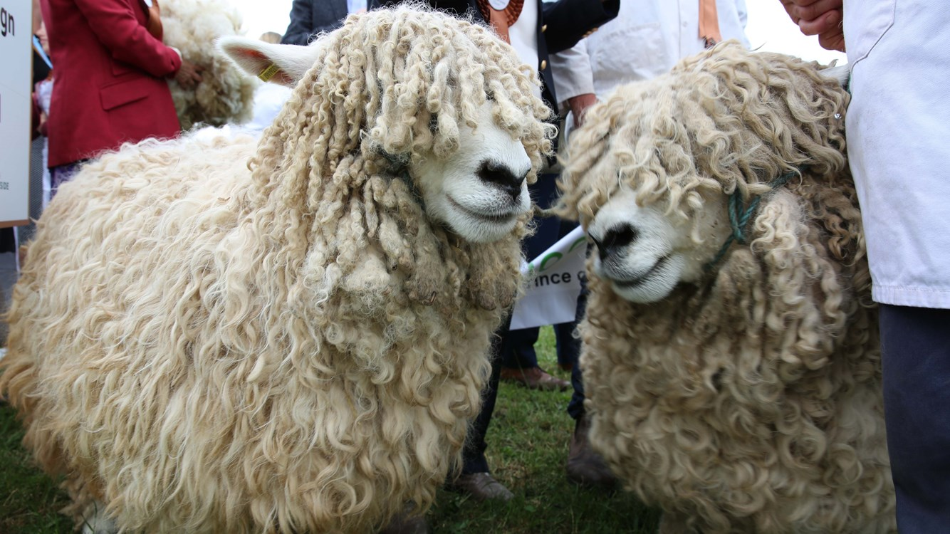 Different Breeds Of Sheep That We Use Blog Celtic Co