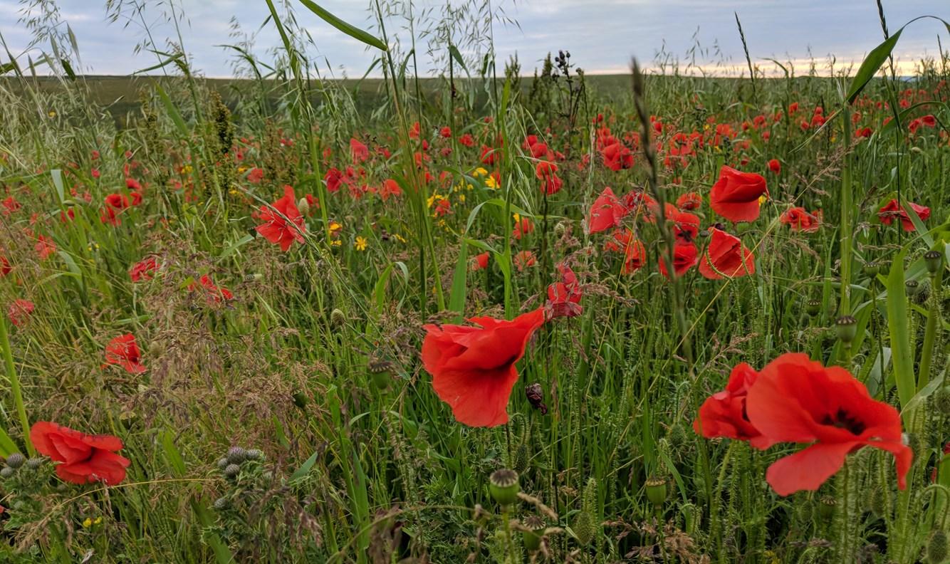 poppy field images - emma 2.jpg