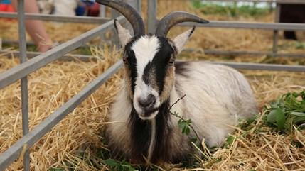 goat face rcs.jpg